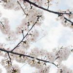 桜の花言葉は私を忘れないで?5分でわかる花言葉!!