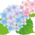 紫陽花の読み方の由来!この漢字になったのは小さなミスから!?