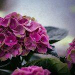 紫陽花の毒は花にある?その成分には殺虫剤と同じものが!?